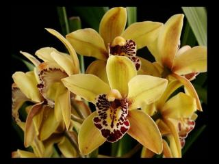 orchid-queens-part-1-1219373998361590-8.ppt